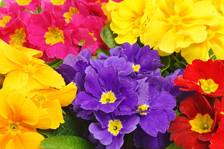 Beautiful colors of primula flowers close up