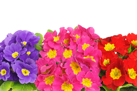 Beautiful colors of primula flowers, above you can write some text