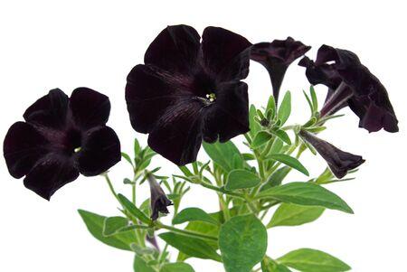 Beautiful black petunia on white background Standard-Bild