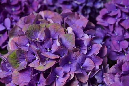 Beautiful violet hydrangea close-up Standard-Bild