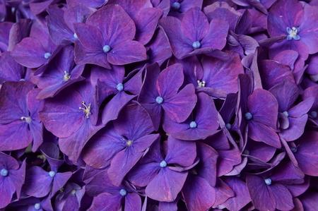 Beautiful flower violet hydrangea as decoration at studio, closeup shot