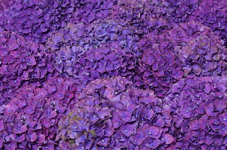 Beautiful flower with more violet hydrangeas at decoration close up