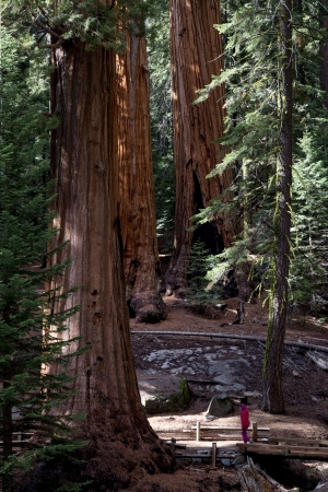Large sequoias trunks in Giant Forest of Sequoia National Park in Tulare County, California, United States photo