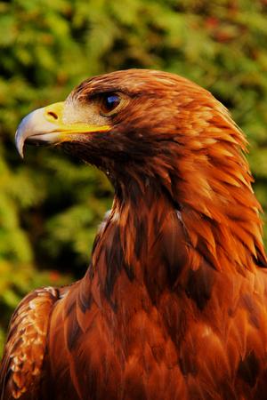 chrysaetos: Sitting proud eagle (Aquila chrysaetos) in close-up