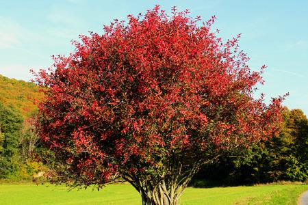 赤と秋に有毒のニシキギ Europaeus 葉します。