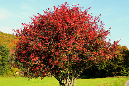 Toxic Euonymus Europaeus in autumn with red leaves photo