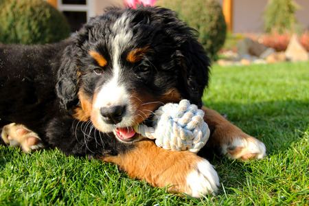 bernese mountain dog: Bernese mountain dog puppy on grass with toy