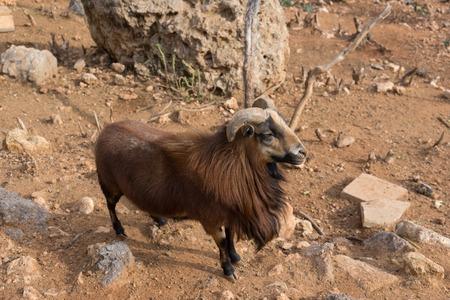 Shaggy wild goat Banco de Imagens