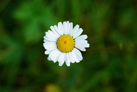 daisywheel: One small wild daisywheel flower