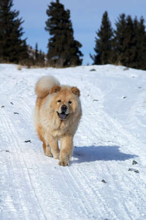Chow-chow on winter road in mountain photo