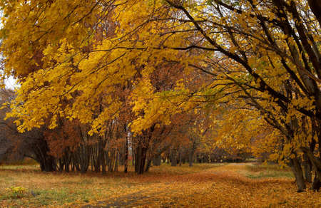 clear path: Maple path in autumn park