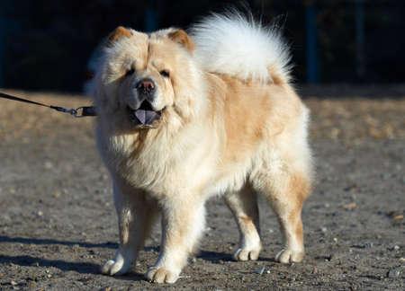 Chow-chow dog photo