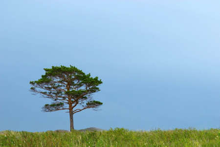 Lone pine and storm sky Stock Photo - 2029546