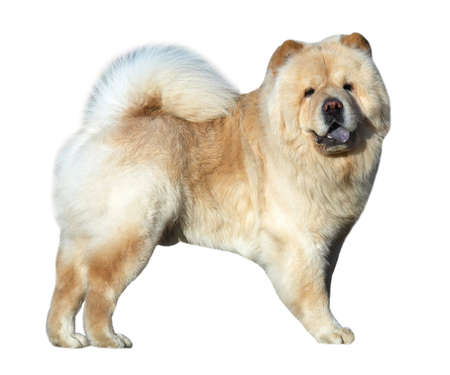 chap: Chow-chow dog isolated on white Stock Photo