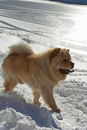Chow-chow dog near by winter lake photo