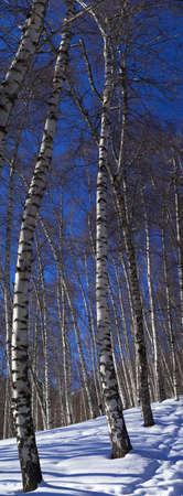Winter birch tree vertical panorama Stock Photo - 2459657