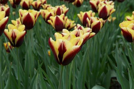 varicoloured: Varicoloured campo de flores de tulip�n