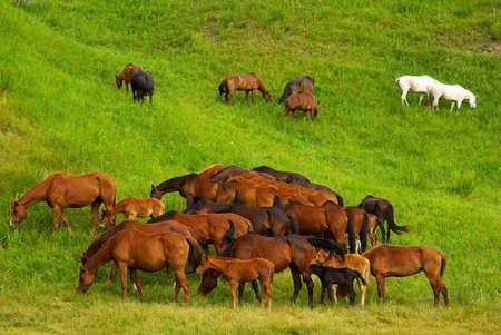 Horses on grass photo