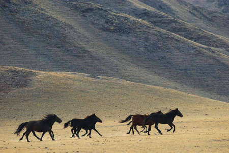 wild asia: Running wild horses in desert mountains