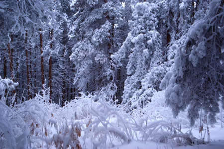 Winter pine forest Stock Photo - 5544482