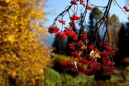 Rowan berry in autumn forest Stock Photo - 5699635