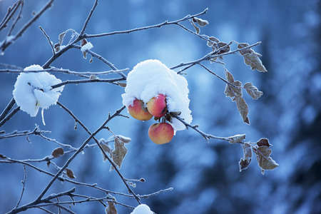 Apples on tree and first snow Stock Photo - 6009266