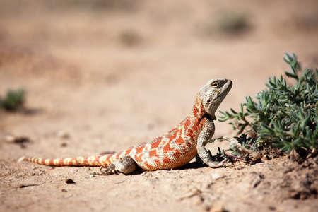 Lagarto en desierto de Central Asia (Kazajstán)