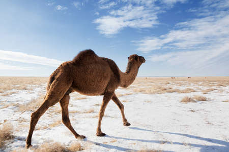 Camels on winter desert in Kazakhstan photo