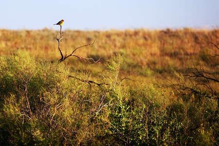 songbird: Songbird in the morning on the prairie Stock Photo