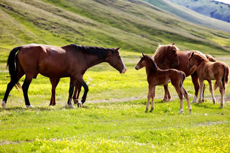 Mares and foals in the mountains
