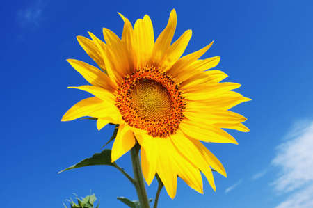 flowerhead: One sunflower and blue sky