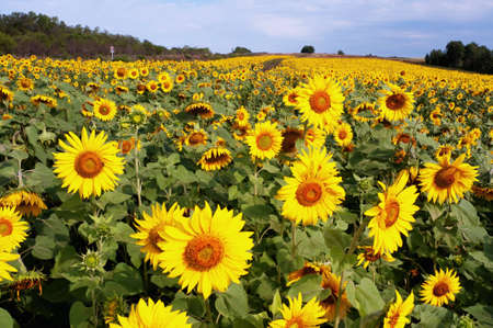 Field of sunflowers along the road photo