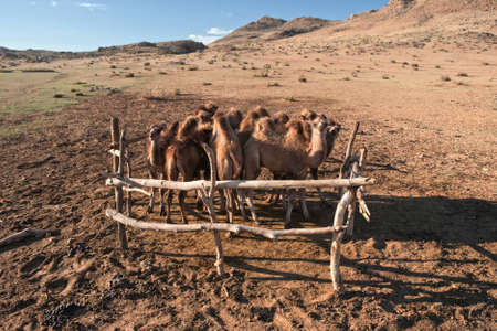 Young camels in the paddock in the desert mountains of Mongolia photo