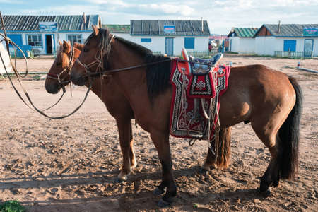 mongolia: Horses on a leash in the village in the north of Mongolia