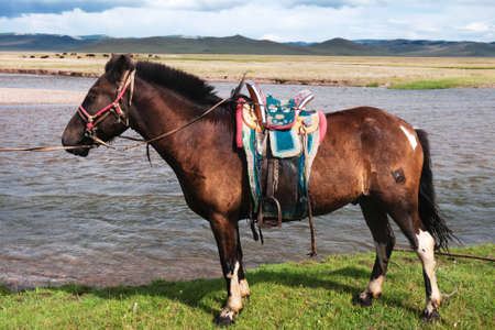 nomadic: Mongolian horse saddled in pasture by the river