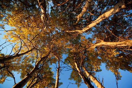 quaking aspen: Aspen Trees in Fall and sunset