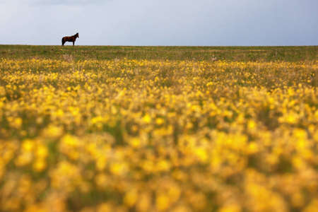 ranching: Silhouettes of horse in the meadow with yellow flowers Stock Photo