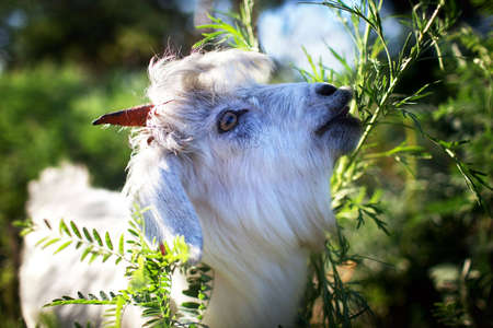 yeanling: Young goatling eating the green grass Stock Photo