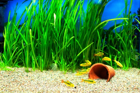 Group of a small Gold Barb fish in an Aquarium Фото со стока
