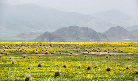 Desert valley with small yellow flowers against the background of mountain range covered with fog in Almaty region, Kazakhstan Stock Photo