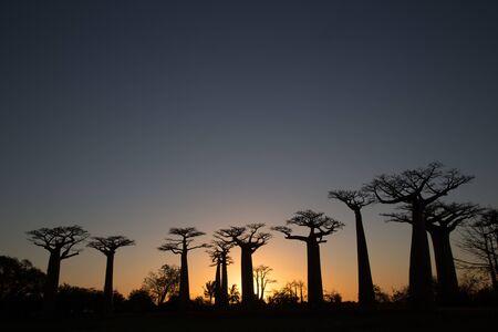 Sunset behind a baobab trees at Madagascar 版權商用圖片