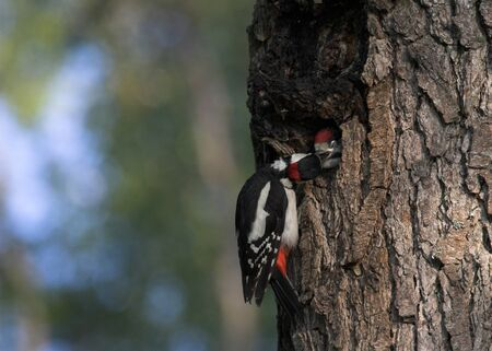 Great Spotted Woodpecker (Dendrocopos major) bringing food to her cubs