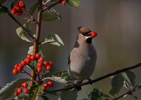 Bohemian Waxwing perched on branch of a crab berry from a tree before swallowing it, Finland