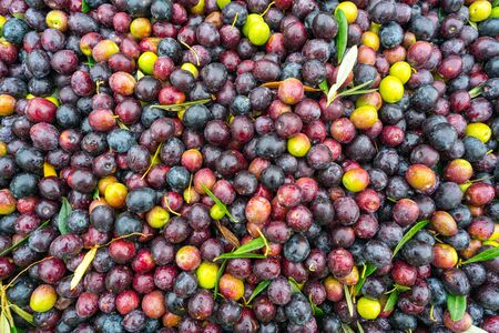 Fresh Olives Waiting To Be Pressed For Extra Virgin Olive Oil