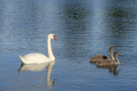 Swans with their cubs on the pond Stock Photo