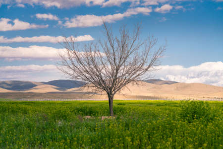 A solitaire tree with no leafs in the green field with the desert in the background and blue sky above. Beautiful day by the desert in Iran.