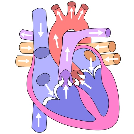 Human heart and vessels on a white background