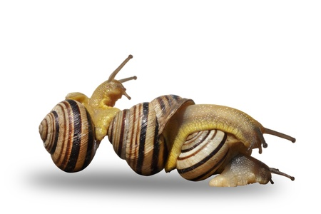 to creep: Three snails creep on a white background