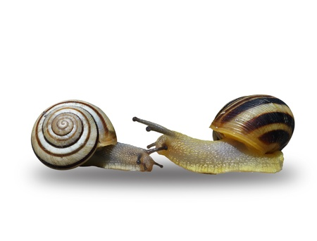 to creep: Two snails creep on a white background