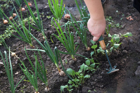spud: The man in a garden planting vegetables